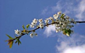 Blütenzweig vor Himmel Frühlings-Konzert in Christels Scheune Hanau