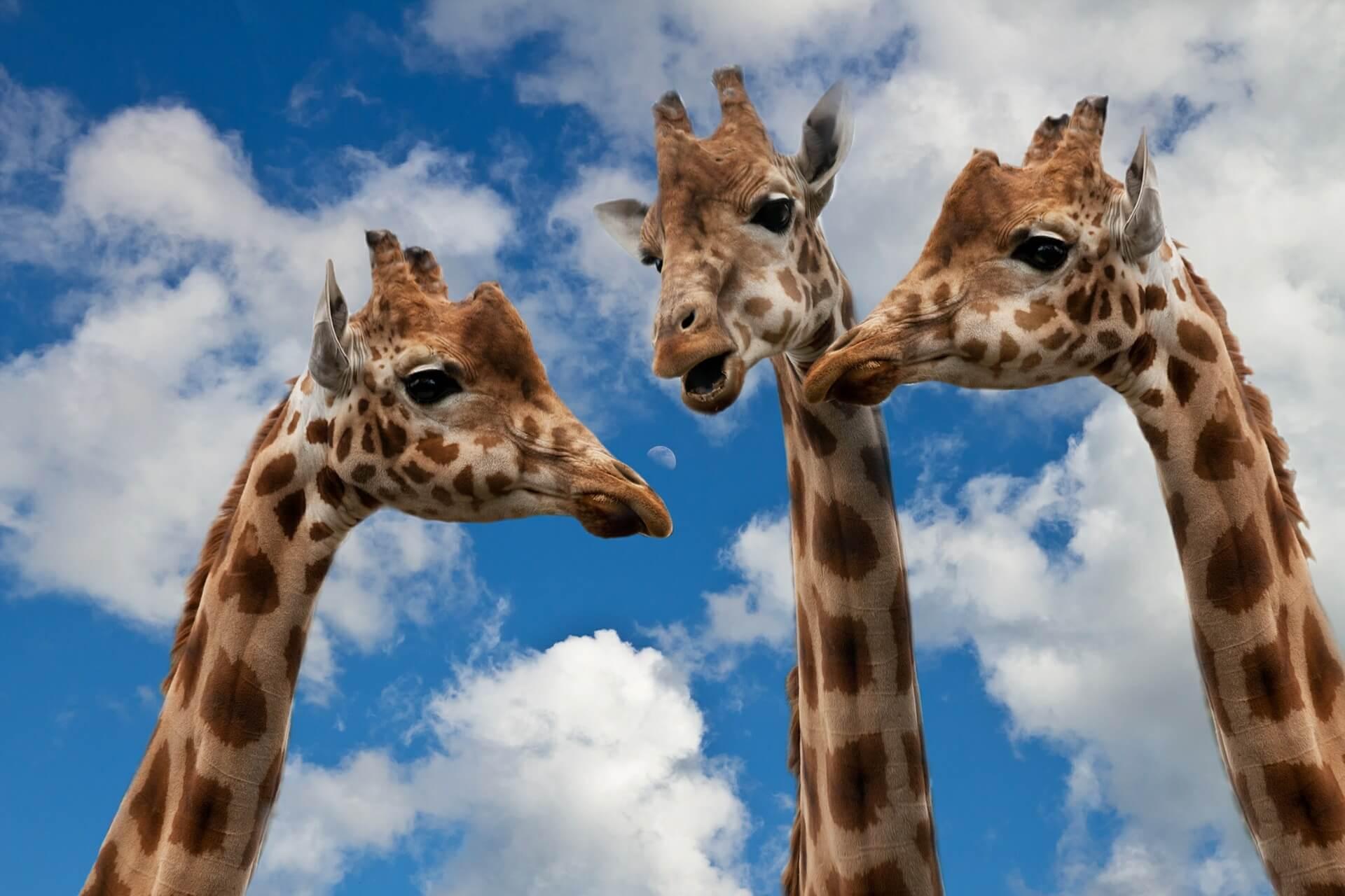 3 Giraffenköpfe als Kritiker, Träumer und Realist, Christels Scheune, Hanau, Coaching